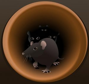 Rats in pipes